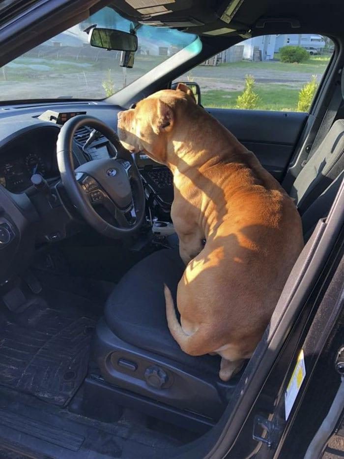 barátságos pitbull