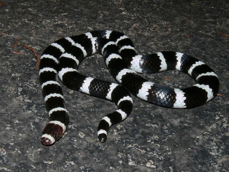 fekete-fehér állatok6