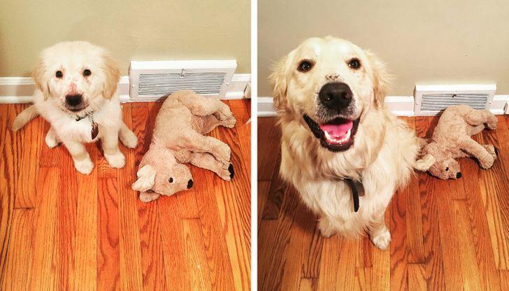 gazdi aki meglepődött, hogy mekkorára nőtt a kutyája11
