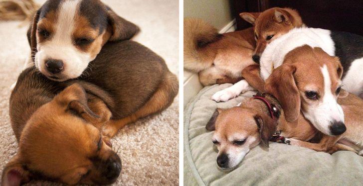 gazdi aki meglepődött, hogy mekkorára nőtt a kutyája12