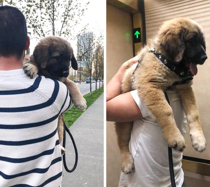 gazdi, akinek a kiskutyája óriásira nőtt