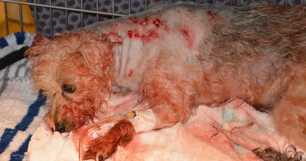 Egy szörnyeteg 19-szer szúrt meg egy kutyát