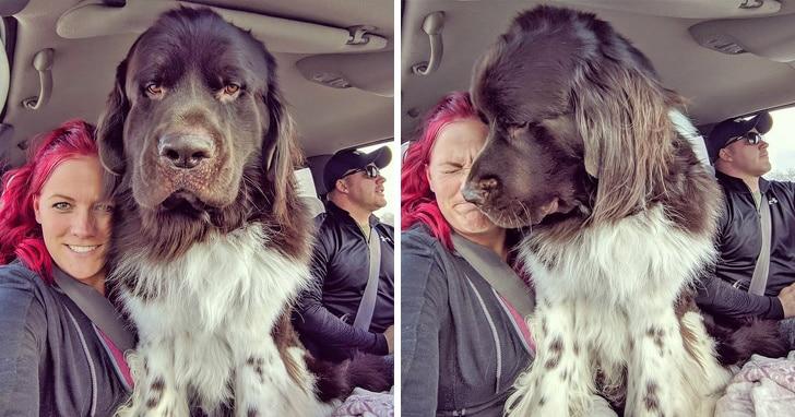 újfundlandi kutyák
