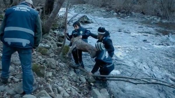 A farkast a jéghideg vízből mentették ki