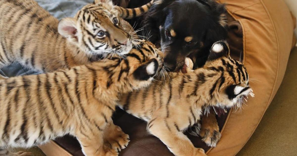 Elárvult tigriskölyköket dajkál a kutya