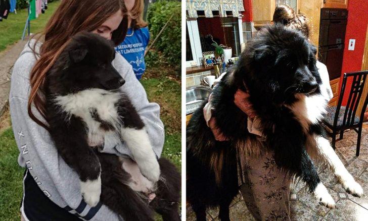 gazdi aki meglepődött, hogy mekkorára nőtt a kutyája13