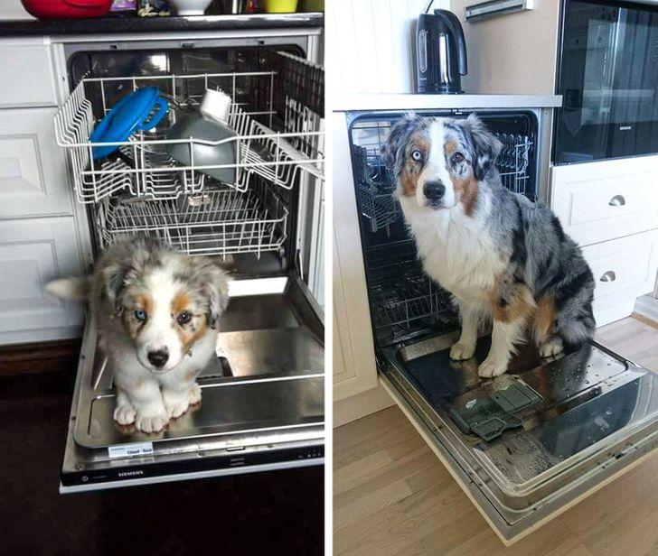 gazdi aki meglepődött, hogy mekkorára nőtt a kutyája2