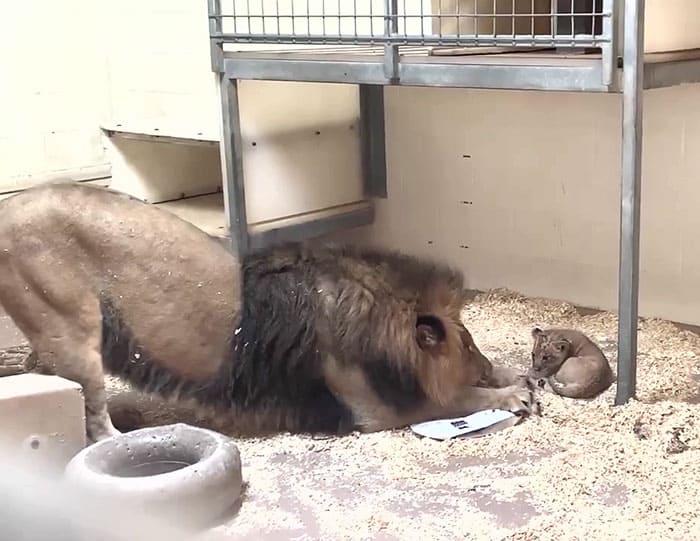 Imádnivaló videó készült az apaoroszlán és kölyke első találkozásáról